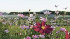 波斯菊 Cosmos (幻影留梦) Tags: changwon busan junam stone bride nature reserve farm south korea september 2017