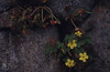 Oxalis megalorhiza, July 1996, Tresco (Mary Gillham Archive Project) Tags: 1996 22717 england fleshyyellowsorrel island july1996 oxalismegalorrhiza planttree sv8914 scillyisles tresco unitedkingdom gb
