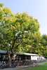 IMG_5978 (Ethene Lin) Tags: 台灣大學 台灣欒樹 腳踏車 大樹 草地 藍天