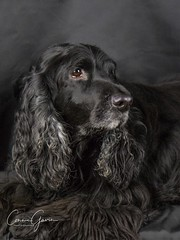 43/52 - Sammy 2017 (conniegavin12) Tags: 52weeksfordogs fieldspaniel spaniel dog pet
