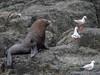 New Zealand Fur Seals_171026_31898 (Donald Go) Tags: nature seals new zealand fur seal montague island narooma