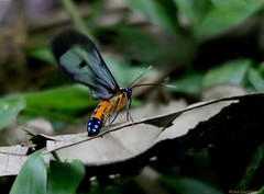 Blue-tailed Bee-mimic (Sarosa notata) (Rosa Gamboias) Tags: bugs insects mysterybug insectos fluorescente insetos wings fauna nature natureza naturaleza wildlife vidaselvagem ecuador equador rosagambóias asas alas iridescente iridescent casadivina mindo bluetailedbeemimic sarosanotata