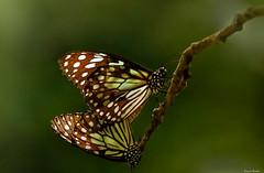 (kumherath) Tags: kumariherathphotography canon5dmark3 sigma150600sports butterflies twig 7dwf macro