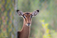 2017-10-12-Hodenhagen-0240 (BZD1) Tags: impala aepycerosmelampus animal mammal artiodactyla bovidae natuur nature serengetiparkhodenhagen