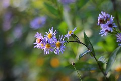Autumn starlets (Nathalie_Désirée) Tags: aster flower violet lilac color bokeh macro closeup ludwigsburg parc nature canoneos600d canon50mm f18 sunlight daylight autumn november leaf leaves flora