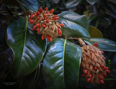 Going to Seed (GloriaOcch) Tags: magnolia seeds leaves autumn
