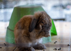 Praying to rabbit jesus (Bryan Chan CY) Tags: flickr brown rabbit bunny holland lop ear canon550d canon 50mm f18 poop bokeh animal wild wildlife praying cute scary pet