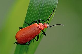 Pyrochroa serraticornis - the Red-headed Cardinal Beetle