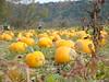 Walker Farm (dankeck) Tags: pumpkin patch chieftaindrive hockingcounty hills autumn fall trees woods pick
