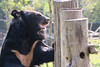 V061 Sampo 3Nov2017 (9) (Animals Asia) Tags: animalsasia vietnam vbrc vietnambearrescuecentre sampo moonbearmonday moonbear