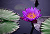 Water Lilly- Purple (Udayabhanu Murthy) Tags: waterlillies centralwestend forestpark stlouis jewelbox