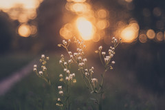 Bokeh Throwback (der_peste) Tags: bokeh primoplan primoplan5819 58mm f19 bubbles meyergörlitz meyeroptik meyeroptikgörlitz kickstarter flower sunset sundown blur