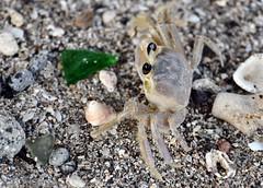 Ocypode albicans - Ghost crabs - Crabe soleil - Mal Zoreille -  29/01/11 (Philippe_Boissel) Tags: ocypodealbicans ghostcrabs crabesoleil malzoreille ocypodidae decapoda crabe crustacea crustacé amériquecentrale antilles caraïbes martinique france 0291d