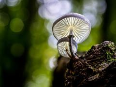 Life's a Beech (Eifeltopia) Tags: pilze mushrooms buchenschleimrübling oudemansiellamucida buchenwald lifesabeach beech forest südeifel zuiko6028 macro bokeh bokehlicious branch wald eifel rheinlandpfalz nature wildlife beringt natur porcelainfungus