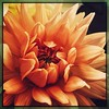 And the dahlias aren't done yet — thank heavens. #takoma #dc #dclife #washingtondc #iPhone365 #iPhone7plus #iPhone #iPhonemacro #macro  #flower #flowersofinstagram (Kindle Girl) Tags: iphone takoma dc dclife washingtondc iphone365 iphone7plus iphonemacro macro flower flowersofinstagram