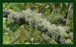 Usnea filipendula (fishbone beard lichen)