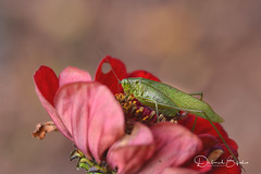 Uh oh (dbifulco) Tags: nature color fall garden insect katydid newjersey yard forktailed bush scudderia furcata flower zinnia