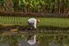 Rice Farmer (foto.karlchen) Tags: mengwi bali indonesien