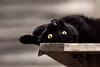 'Topsy Turvy Henri' (Jonathan Casey) Tags: black cat nikon d810 200mm f2 vr