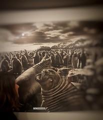 Le Straordinarie Foto di Sebastião Salgado in mostra al Pan a Napoli.  Felicissima di esserci _ottobre 2017 (maresaDOs) Tags: mostra napoli salgado genesis bn fotografo photo pan natura animal sebastiãosalgado mostrafotografica museo biancoenero mondo me yomismo myself eumesmo