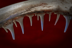 The Bite (brucetopher) Tags: macromondays halloween blood red macro fish goosefish monser seamonster happyhalloween scary vampire demon evil nightmare dream monster teeth tooth white fang fangs scare ghost spirit fossil bones jaw jawbone ghoul