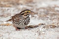 Savannah Sparrow.  (c) 2017 Walt Hackenjos All rights reserved.