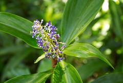 Pollia  macrophylla flowers (Xylopia) Tags: arfp qrfp tropicalarf arfflowers purplearfflowers lowlandarf uplandarf pollia polliamacrophylla wnaderingjew commelinaceae