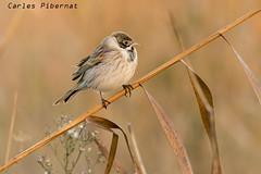 Repicatalons, Escribano palustre (Emberiza schoeniclus) (Carles Pibernat) Tags: