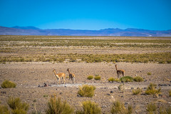 As we left the salt flats and back into regular Bolivia landscapes we found more vicunas.