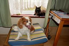 Mot'ka after the grooming (Caulker) Tags: motka dog cat vaska october 2017