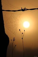 (martine_ferron) Tags: toiledaraignée leverdesoleil brume barbelé clôture matin automne