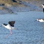 flying shore birds DSC_0431 thumbnail