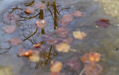 Contemplation (Tony Tooth) Tags: nikon d7100 tamron 2470mm reflection leaves puddle flagstone contemplation autumn leek staffs staffordshire