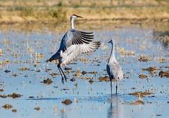 Day 299 ~ Sandhill Cranes (champbass2) Tags: day299 day2992017 sandhillcranes pacificflyway migration dancing wildlife gruscanadensis