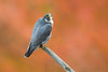 Peregrine Falcon (Photosequence) Tags: fall autumn 2017 foliage color red orange falcoperegrinus peregrine falcon raptor birdofprey nj statelinelookout newjersey alpine palisades interstate park muhammad faizan photography tiercel