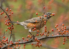 American Robin eating crabapples (Thomas Muir) Tags: turdusmigratorius songbird tommuir woodcounty ohio perrysburg bird female feeding migration fall tree nature nikon 200400mm food d800 midwest