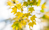 Autumn (Dhina A) Tags: sony a7rii ilce7rm2 a7r2 lensbaby composer pro sweet 50 optic 50mm lensbabycomposerpro f25 bokeh art lens 2elements 1group manual focus emount creative photography blur autumn colorful colors leaves leaf yellow fall