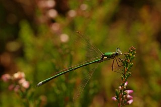 Dragonfly with green sparkels