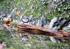Cincle plongeur 2 (jean-daniel david) Tags: oiseau oiseaudeau cincleplongeur cincle eau source ruisseau malbuisson doubs nature bois