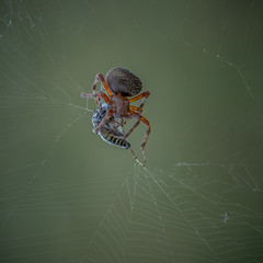 Saving Supper (1mpl) Tags: olympusomdem1mii spiders spiderwebs entrapped
