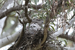Tawny Frogmouth chick inspecting his new world, Australian National Botanic Gardens (APwombat) Tags: frogmouth
