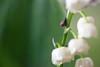 Minuscule escargot sur brin de muguet (Kaïyah) Tags: minuscule escargot muguet mollusque printemps tiny spring white flower plant forest snail lily