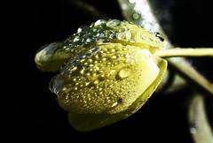 DSC_8365 Passion Flower (PeaTJay) Tags: nikond750 sigma reading lowerearley berkshire macro micro closeups gardens outdoors nature flora fauna plants flowers passionflower