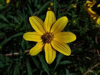 Ozark Tickseed Sunflower