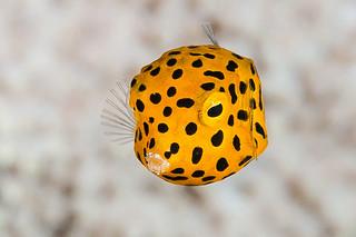Yellow boxfish, juvenile - Ostracion cubicus