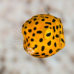 Yellow boxfish, juvenile - Ostracion cubicus thumbnail