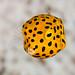 Yellow+boxfish%2C+juvenile+-+Ostracion+cubicus