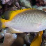 Scaly Damsel - Pomacentrus lepidogenys thumbnail