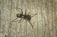 golden ant mimic (dustaway) Tags: arthropoda arachnida araneae araneomorphae salticidae myrmarachne antmimic jumpingspider spideronbark kempsey midnorthcoast nsw australia