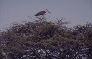 Marabou above nest in Acacia thorn. Ndutu